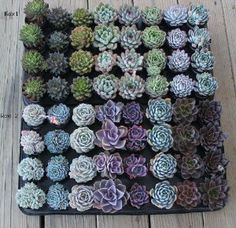 """15 Misc Echeveria Mixed Succulents 2.5 """" Pots Great for Gifts and Wedding by Echeveria Succulent Collection. $33.99. Names Included. The Perfect Wedding Favor. Shipped in Pots W/Soil. licensed California Nursery. Great Collection. Echeveria  This sale is for 15 of the Echeveria shown in the picture. They are in 2.5 inch pots and ship in the pots with soil.   Row 1: Set-Oliver, Prurpusorum, sleepy, Doris Taylor, Pulidonis, lime and Chili, Violet Queen, Kirov   Row 2: Painted..."""