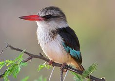 Brown-hooded Kingfisher (Halcyon albiventris) | Flickr - Photo Sharing!