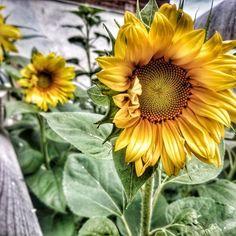 🌻🙂 #sunflower #sunflowers #slnecnica #nature #summer #yellow #pod1000 #insta_svk