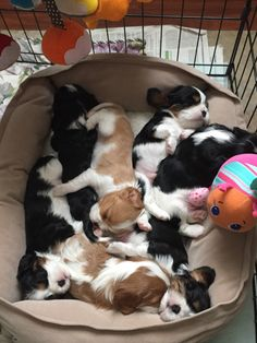 Cavalier King Charles spaniel. 3 weeks old
