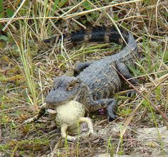 """Yearling gator with prey"" Photo by Anita363"