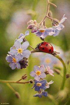 Ladybug/ladybird on blue flowers Beautiful Bugs, Beautiful World, Beautiful Flowers, Beautiful Pictures, Forget Me Not, Belle Photo, Beautiful Creatures, Blue Flowers, Animal Kingdom