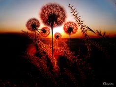 """Dandelion Family Sunset ;) - <p><a href=""""https://www.facebook.com/ismailbilir.400""""><img src=""""http://www.ismailbilir.com/ismail_bilir/facebook.png""""></a> <a href=""""https://www.instagram.com/ismail_bilir40/""""><img src=""""http://www.ismailbilir.com/ismail_bilir/instagram.png""""></a> <a href=""""https://twitter.com/ismailbilir40""""><img src=""""http://www.ismailbilir.com/ismail_bilir/twitter.png""""></a> <a href=""""http://www.ismailbilir.com""""><img src=""""http://www.ismailbilir.com/ismail_bilir/ismailbilir.png""""></a…"""