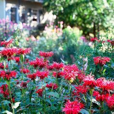 This flower offers colorful clusters of red, pink, lavender, violet, or white. More perennials for cutting: http://www.bhg.com/gardening/flowers/perennials/the-best-perennials-for-cutting/?socsrc=bhgpin072513beebalm=14