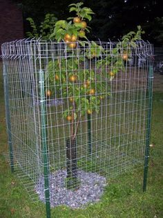 Seven Useful Shade Tolerant Groundcovers For Tough Spots This Is My First Time Planting Fruit Trees, So Any Advice Would Be Appreciated. I Planted 9 Dwarf Pear And Apple Trees 2 Ft Whips To Start With In My Yard Last Spring. Most Were Doing Great And Grew Espalier Fruit Trees, Planting Fruit Trees, Fruit Plants, Fruit Garden, Garden Trees, Trees And Shrubs, Trees To Plant, Vine Fence, Deer Fence