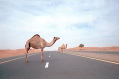 Camels on Highway, Sharjah, UAE