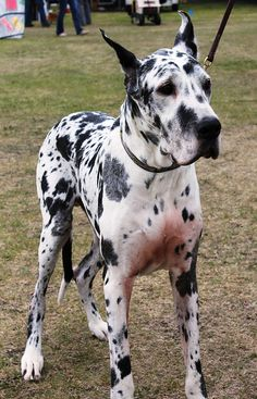 #Great #Dane.