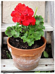 Red geramiums mean summer to me!