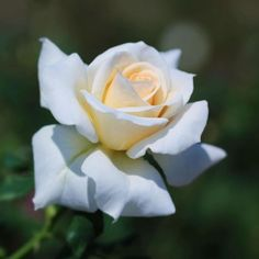 Beautiful Rose Flowers, Love Rose, Flowers Nature, Exotic Flowers, Amazing Flowers, Rose Pictures, Flower Photos, White Roses, Pink Roses