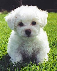 Bichon Frise Puppies and Dogs. Learn everything from the bichon frise appearnce, health, and characteristics that make this great dog. Cute Puppies, Cute Dogs, Dogs And Puppies, Poodle Puppies, Doggies, Dogs 101, Puppy Pictures, Animal Pictures, Baby Animals