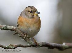 Brambling Finch by Mark Hancox
