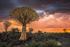 African Tree, Namib Desert, Unique Trees, Fantastic Art, Awesome, Tree Forest, Quiver, Photo Tree, Nature Prints