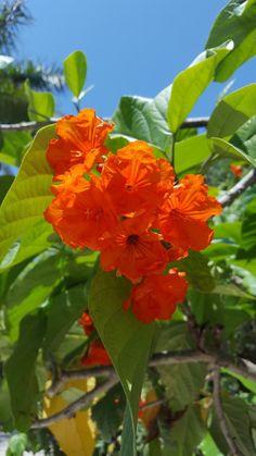 Orange Geiger Tree. Mexico