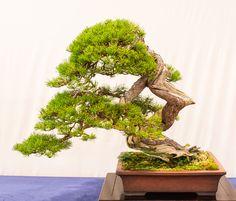 Alte Berg-Kiefer (Pinus mugo) auf der Bundesausstellung 2014 in Mannheim.