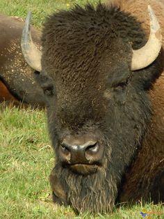 http://www.visoflora.com/images/original/bison-visoflora-68548.jpg