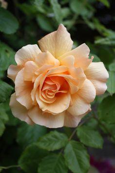 Joseph's Coat rose | by joeksampson