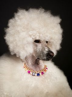 something about a poodle afro that makes me laugh.. so cute :)