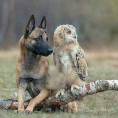 Belgian Malinois And Owl Unusual Animal Friends, Unlikely Animal Friends, Unusual Animals, Animals And Pets, Baby Animals, Funny Animals, Cute Animals, Beautiful Creatures, Animals Beautiful