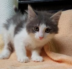 Meet Jonah 22768, a Petfinder adoptable Domestic Medium Hair Cat   Prattville, AL   Jonah is a 9 week old, long-haired, gray and white male kitten.Dogs and puppies may be adopted for...