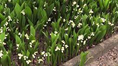 Convallaria majalis (Maiglöckchen /  Lily of the Valley)