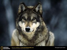 Vare Wolf! Where Wolf? There Wolf!