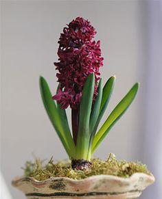 Forced hyacinth