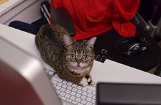 """What do you want? I'm doing office."" This is Lil' Bub. Not Grumpy Cat, but really cute all the same."