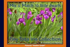Choose your own ten little dwarfs (Snow White only had seven!) Mix and match any ten of your favorite Dwarf Iris pictured below to create a collection of your own design.