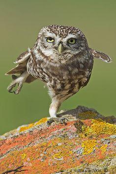 Owl cha, cha, cha!