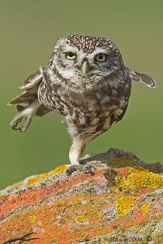 Owl Yoga.