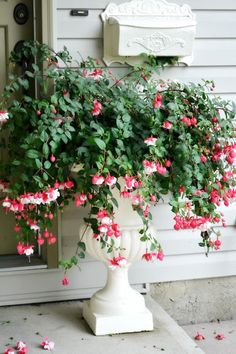 Never thought about putting a fuchsia in an urn. I've always had them as hanging plants - Beautiful!