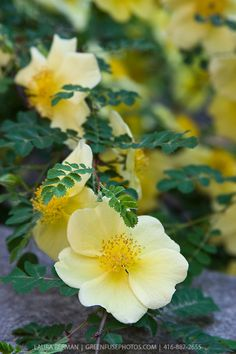 Yellow Incense Rose (Rosa primula) -  Monty Don: 'Around the time that the native species roses such as the dog rose (R. canina) and the sweet briar (R. eglanteria) appear in the hedgerows, R. cantabrigienesis, R. primula and R. hugonis start to flower in my garden, all with ferny foliage and lovely primrose-yellow flowers.'