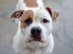 TO BE DESTROYED - 12/07/14 Brooklyn Center My name is GOVERNOR. My Animal ID # is A1022056. I am a male white and tan staffordshire and bulldog mix. The shelter thinks I am about 11 MONTHS old. **$150 DONATION to the NEW HOPE RESCUE that pulls!** I came in the shelter as a OWNER SUR on 12/01/2014, owner surrender reason stated was NYCHA BAN. Main Thread: https://www.facebook.com/photo.php?fbid=917663864913160