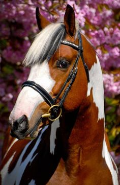 Homozygous coloured tobiano warmblood stallion Solaris Buenno is an interesting addition to the world of warmblood and sport horse breeding. Cute Horses, Horse Love, Beautiful Horses, Animals Beautiful, All The Pretty Horses, Beautiful Creatures, Mustangs, Horse Wallpaper, Chestnut Horse