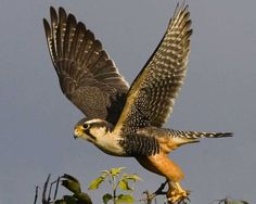 This trim, elegant falcon once nested in desert grassland of the southwest, but it has been very rare north of the Mexican border since the 1920s or before. Recently a few have reappeared in New Mexico and western Texas, and there has been a major attempt to reintroduce the species in southern Texas.