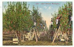 Washington State Apple Orchard Antique Postcard Wa Wash