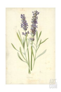 Lavender Giclee Print by Frederick Edward Hulme at Art.com