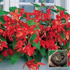 """Bertinii Everblooming Begonia - More than 100 vivid flowers per plant! Just one tuber gives you a bounty of 2"""", fiery orange-red blooms on 15 to 20 pendulous stems. A gardener's dream! Outstanding in pots, baskets, window boxes or at the front of borders. Keep soil moist. Light: Part to Full Shade - Bloom Time: Summer to Frost - Size: 20+ cm Tubers Zones: 3 to 10* (Lift in Fall if you live in Zones 3-7) Height: 16"""""""