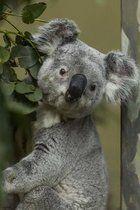Koala Posing for the Shot, for the Love of Australia