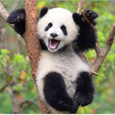 A Panda cub at birth weighs 3 to 5 ounces and is about the size of a stick of butter! Pink hairless and blind the cub is the si… Did you know? A Panda cub at birth weighs 3 to 5 ounces and is about the size of a stick of … Niedlicher Panda, Panda Love, Cute Panda Baby, Happy Panda, Cute Little Animals, Cute Funny Animals, Panda Mignon, Panda Lindo, Baby Panda Bears