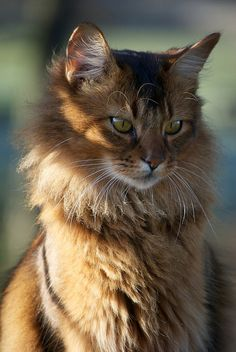 Snarf | by Solitary Lady Pretty Cats, Beautiful Cats, Animals Beautiful, Cute Animals, Kittens Cutest, Cats And Kittens, Ragdoll Kittens, Funny Kittens, Capoeira