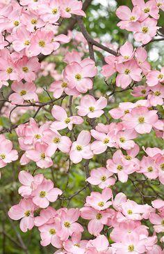 pink dogwood . . .