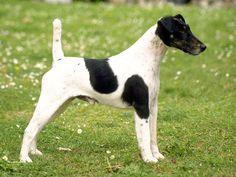 Fox Terrier de Pelo Liso, Reino Unido