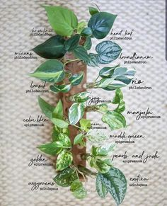 Found this helpful, thought y'all might too : houseplants House Plants Decor, Plant Decor, Garden Plants, Water Plants, Hanging Plants, Indoor Plants, Plante Pothos, Plantas Indoor, Pot Jardin