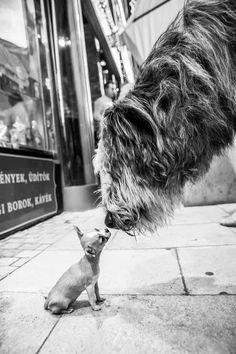 Irish Wolfhound & chiuhuahua!