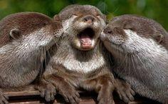 Ahh!!!!  I love otters!