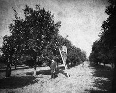 Citrus grove - Lake County, Florida 20s