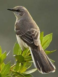 Mockingbird - Texas' State Bird. I love to listen to the mockingbird singing. I always have a pair in the early Spring that nest in the tree outside my bedroom window. I have no idea if it's the same pair but I so love listening to them sing. :-)