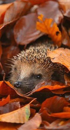 I love this photo of a hedgehog.