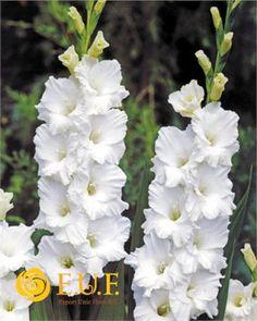 die gladiolen gladiolus auch schwertblume genannt lat gladius schwert sind eine. Black Bedroom Furniture Sets. Home Design Ideas